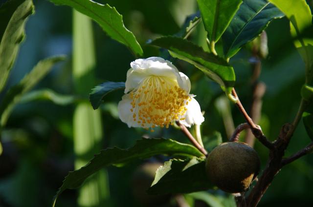 チャノキ 茶の木・チャの木・茶樹 まんよう植物図鑑 秋: チャノキ 茶の木・チャの木・茶樹
